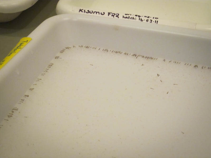 Mosquito larvae in the National Malaria Control Center insectary.